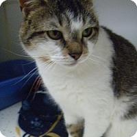 Adopt A Pet :: Brit - Hamburg, NY