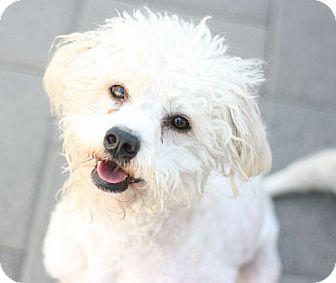 Poodle (Miniature) Mix Dog for adoption in Canoga Park, California - Doodles