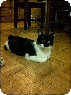 Domestic Shorthair Cat for adoption in Toronto, Ontario - Bites-Foster