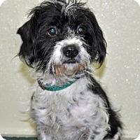 Adopt A Pet :: Comet - Port Washington, NY