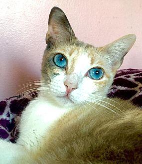 Siamese Cat for adoption in Cerritos, California - Kinley