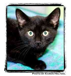 Domestic Shorthair Kitten for adoption in Warren, Pennsylvania - George