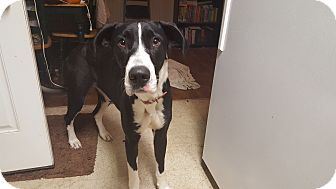 Great Dane Dog for adoption in Broomfield, Colorado - Paige