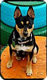 Miniature Pinscher/Australian Shepherd Mix Dog for adoption in Bastrop, Texas - Ace
