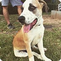 Adopt A Pet :: Hoss - oklahoma city, OK