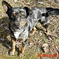 Adopt A Pet :: Remington - Lawrenceburg, TN