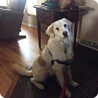 Adopt A Pet :: Gunner - Evergreen, CO