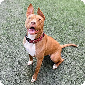 Pit Bull Terrier Dog for adoption in Burlingame, California - Blue