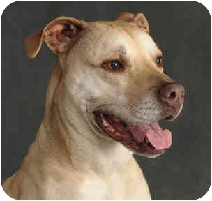 American Pit Bull Terrier/Labrador Retriever Mix Dog for adoption in Chicago, Illinois - Lulu