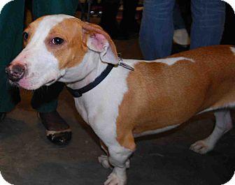 Dachshund Mix Puppy for adoption in Loudonville, New York - Fletcher