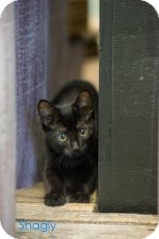 Domestic Shorthair Cat for adoption in Dallas, Texas - Jet