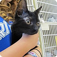 Adopt A Pet :: Blackberry (kitten) - Riverhead, NY