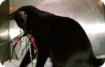 Domestic Mediumhair Kitten for adoption in Geneseo, Illinois - Willie