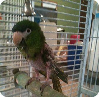 Macaw for adoption in Lenexa, Kansas - Julio (Sir John)