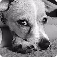 Adopt A Pet :: Moosey - Gilbert, AZ