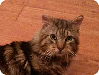 Domestic Mediumhair Cat for adoption in Pittstown, New Jersey - Wally