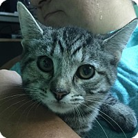Adopt A Pet :: Tabby (XPOST) - Brookeville, MD