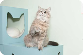 Maine Coon Cat for adoption in Chicago, Illinois - Willa