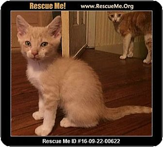 Domestic Shorthair Kitten for adoption in Waldorf, Maryland - Stewart