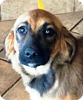 German Shepherd Dog/Golden Retriever Mix Puppy for adoption in Oswego, Illinois - I'M ADOPTED Jelli Belli
