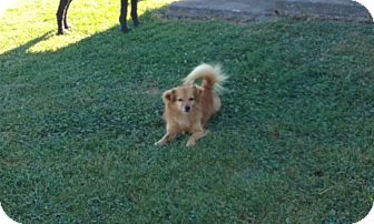 Pomeranian/Pekingese Mix Dog for adoption in Clear Brook, Virginia - Rusty