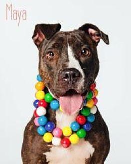 Pit Bull Terrier/Labrador Retriever Mix Dog for adoption in Houston, Texas - Maya
