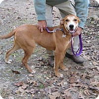 Labrador Retriever/Terrier (Unknown Type, Medium) Mix Dog for adoption in Providence, Rhode Island - Olive