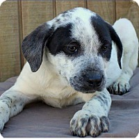 Adopt A Pet :: Lillie pending adoption - Manchester, CT