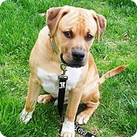 Adopt A Pet :: Israel - Gilbertsville, PA