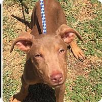 Adopt A Pet :: Ace - Brea, CA