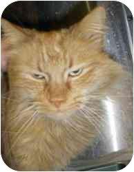 Domestic Mediumhair Cat for adoption in Strathmore, Alberta - Tigger