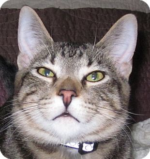 Domestic Shorthair Kitten for adoption in Winchester, California - Cheetah