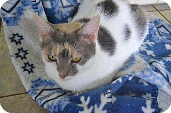 Domestic Shorthair Cat for adoption in East Smithfield, Pennsylvania - Jada