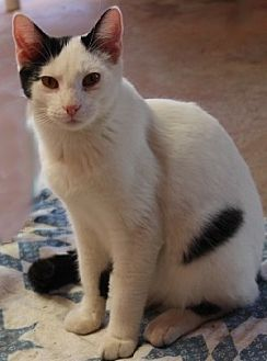 Domestic Mediumhair Cat for adoption in Savannah, Missouri - Ozzie