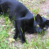 Domestic Shorthair Cat for adoption in Petersburg, Virginia - Harry