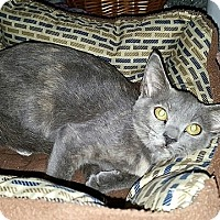 Domestic Shorthair Kitten for adoption in Tampa, Florida - Lisa