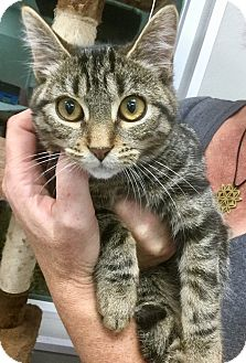 Domestic Shorthair Cat for adoption in Webster, Massachusetts - Peeta