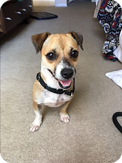 Chihuahua/Terrier (Unknown Type, Small) Mix Dog for adoption in Hialeah, Florida - Chelsea