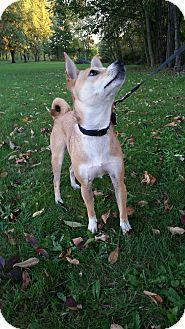Shiba Inu/Chihuahua Mix Dog for adoption in Canton, Ohio - Bailey