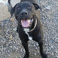 Adopt A Pet :: Calvin - Las Cruces, NM