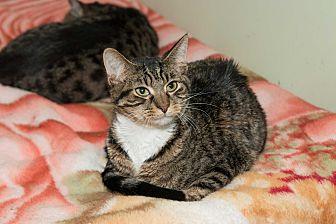 Domestic Shorthair Cat for adoption in Chicago, Illinois - Reagan