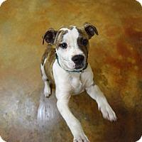 Adopt A Pet :: Link - Tampa, FL