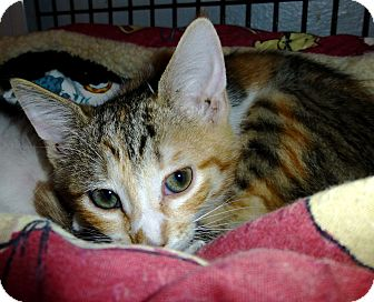 Domestic Shorthair Kitten for adoption in Deerfield Beach, Florida - Natasha