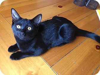 Domestic Mediumhair Kitten for adoption in Chandler, Arizona - Lola