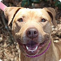 American Pit Bull Terrier Mix Dog for adoption in Atlanta, Georgia - Katie