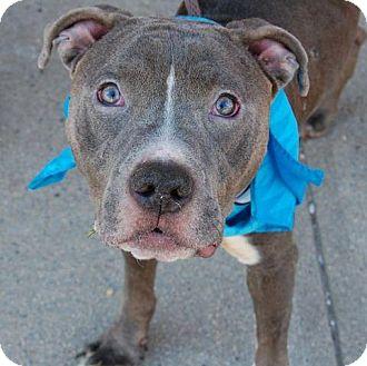 Pit Bull Terrier Mix Dog for adoption in Manhattan, New York - Traffic