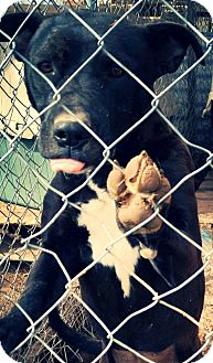 Labrador Retriever Mix Dog for adoption in Odessa, Texas - Cassie