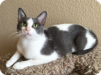 Domestic Shorthair Cat for adoption in Plano, Texas - KATHERINA-SWEET TEEN MOM