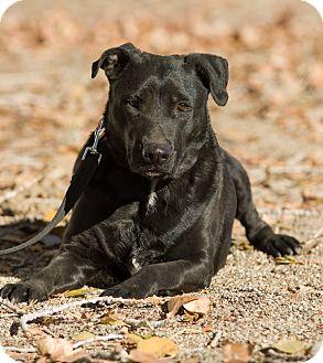 Labrador Retriever Mix Dog for adoption in Los Angeles, California - Dakota