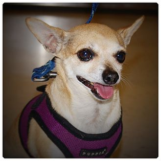 Chihuahua Dog for adoption in Glendale, California - Alen